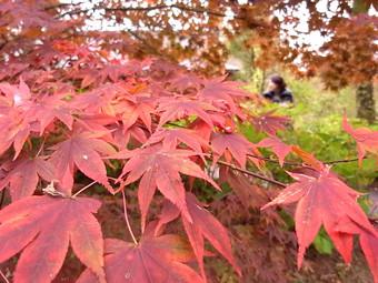 Momiji20111030_2